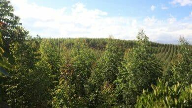 Minagricultura está recibiendo proyectos de reforestación comercial para acceder al Certificado de Incentivo Forestal – CIF 2